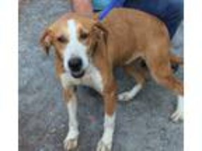 Adopt Penny Bell a Brown/Chocolate Hound (Unknown Type) / Mixed dog in