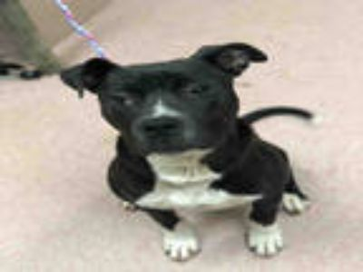 Adopt TOMMIE a Black - with White Bull Terrier / Mixed dog in York