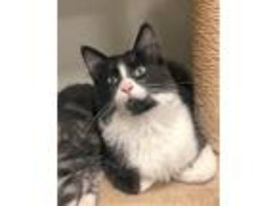 Adopt Jon Snow a Black & White or Tuxedo Domestic Longhair / Mixed cat in Park