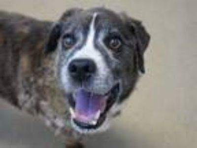 Adopt MARS a Brindle - with White Beagle / Mixed dog in Fort Wayne