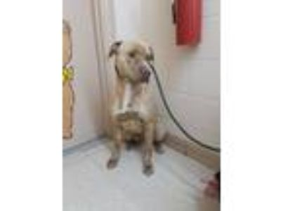 Adopt Harvest a Pit Bull Terrier