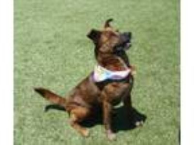 Adopt Macy a Shepherd, Mixed Breed