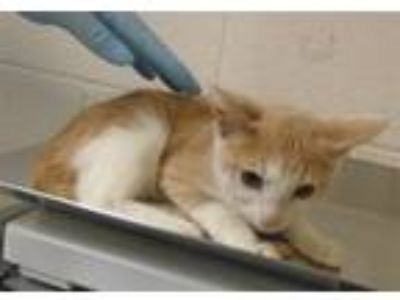 Adopt Banana Puddin Pop a Domestic Shorthair / Mixed cat in Raleigh