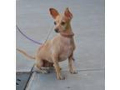 Adopt Sahara a Miniature Pinscher, Toy Fox Terrier