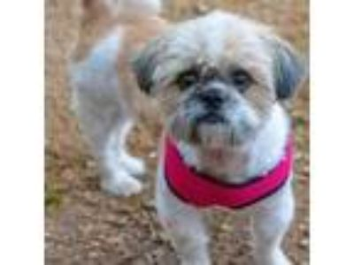 Adopt Thomas a Shih Tzu, Mixed Breed