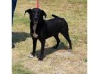 Adopt ARIZONA a Black Labrador Retriever / Mixed dog in Clinton, NC (25459331)