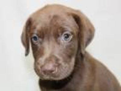 Adopt Maya a Brown/Chocolate - with White Labrador Retriever / Mixed dog in