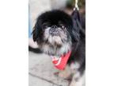 Adopt Ike a Black Pekingese / Mixed dog in Roselle, IL (25285944)