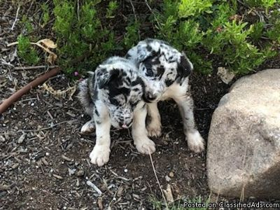 8 week old Grey Merle Border Collies