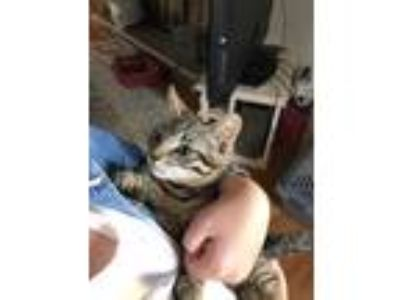 Adopt Rod a Brown Tabby Domestic Shorthair (short coat) cat in Rochester