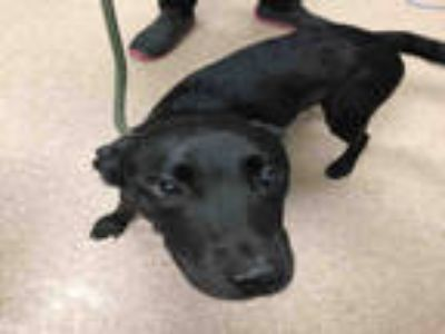Adopt AIDAN a Black Labrador Retriever / American Pit Bull Terrier / Mixed dog