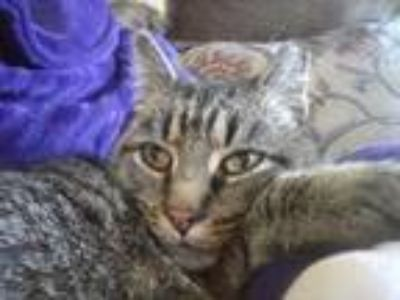 Adopt Belle a Brown Tabby Domestic Shorthair / Mixed cat in Spring Grove