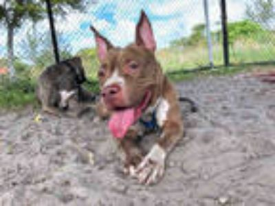 Adopt KAYA a Black American Staffordshire Terrier / Mixed dog in Fort