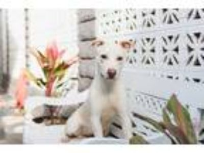 Adopt Phoebe a Tan/Yellow/Fawn - with White Labrador Retriever / Mixed dog in