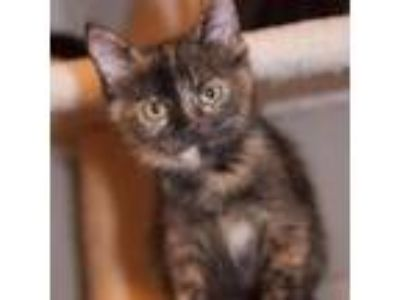 Adopt Hera a Tortoiseshell Domestic Shorthair cat in Dallas, TX (23524542)