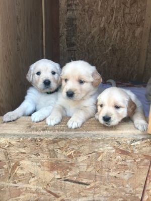 Golden Retriever PUPPY FOR SALE ADN-80634 - Puppies for sale