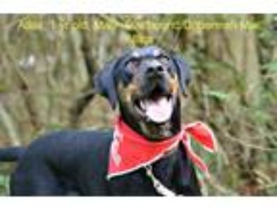Adopt Atlas a Black - with Brown, Red, Golden, Orange or Chestnut Plott Hound /
