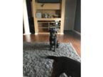 Adopt June a Black - with White Hound (Unknown Type) / Hound (Unknown Type) /