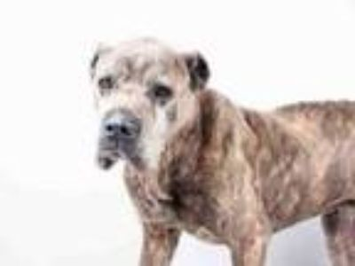 Adopt Hagrid a Brindle Cane Corso / Mixed dog in Chester Springs, PA (25328576)