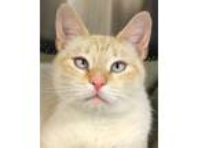 Adopt Azure a White Siamese / Domestic Shorthair / Mixed (short coat) cat in