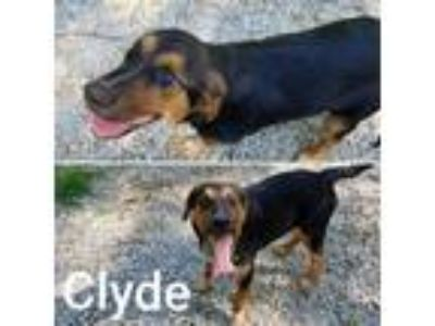 Adopt Clyde a Labrador Retriever / Newfoundland / Mixed dog in Madison
