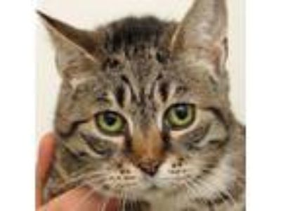 Adopt Annabelle a Domestic Short Hair
