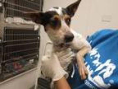 Adopt CHINA a Rat Terrier, Mixed Breed