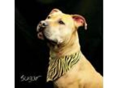 Adopt Shoog / Henna a Tan/Yellow/Fawn Pit Bull Terrier / Mixed dog in Hot