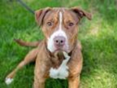 Adopt PARKOUR a Brown/Chocolate American Pit Bull Terrier / Mixed dog in