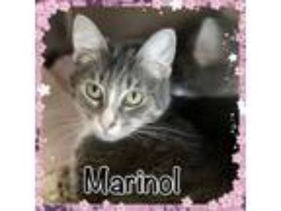 Adopt Marinol a Domestic Short Hair