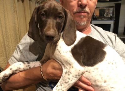German Shorthaired Pointer PUPPY FOR SALE ADN-84455 - Justus League Kennels