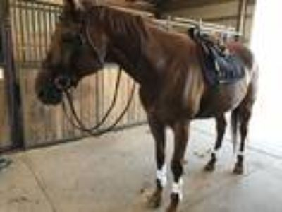 Hunter Jumper mare for sale