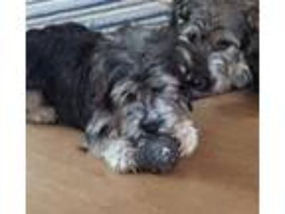 Adopt Dally (In Foster Care) a Gray/Silver/Salt & Pepper - with White Terrier