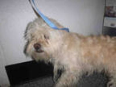 Adopt *COOPER a Brown/Chocolate Terrier (Unknown Type, Medium) / Mixed dog in