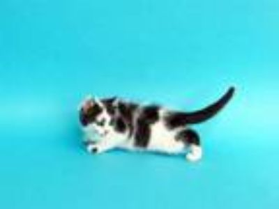 Adopt GO FISH a White (Mostly) Domestic Mediumhair / Mixed (medium coat) cat in