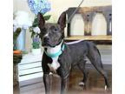 Adopt MOANA a Black - with White American Pit Bull Terrier / Mixed dog in
