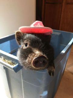 American Mini Pigs