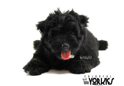 Yorkshire Terrier PUPPY FOR SALE ADN-78680 - Poppy