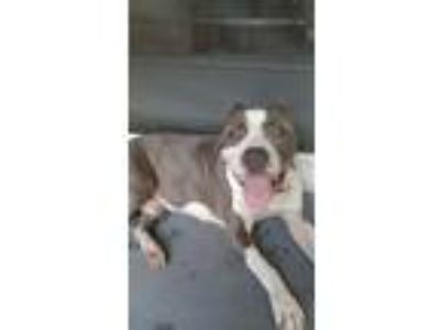 Adopt Brutus a Gray/Silver/Salt & Pepper - with White American Pit Bull Terrier