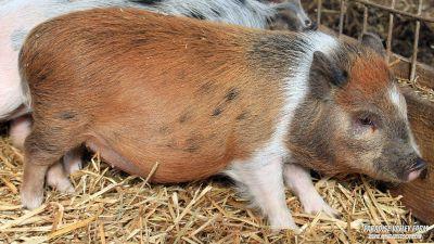 Adorable Mini Pigs
