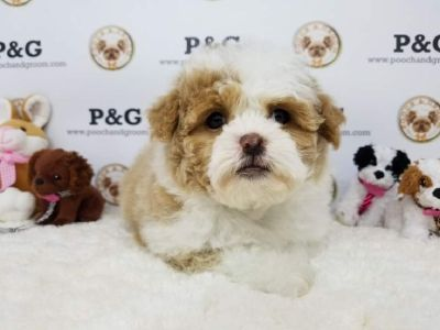 Maltipoo - April - Female