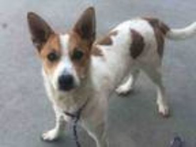 Adopt ROXIE a Australian Cattle Dog / Blue Heeler