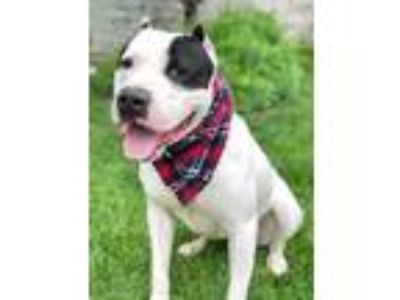 Adopt Tony a Pit Bull Terrier