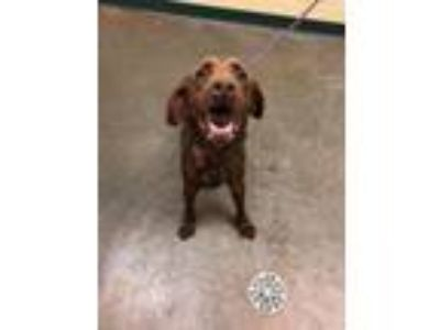 Adopt Sally a Brown/Chocolate Labrador Retriever / Mixed dog in Independence