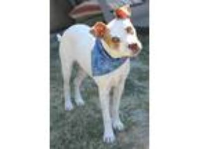 Adopt Dante a White - with Red, Golden, Orange or Chestnut Terrier (Unknown