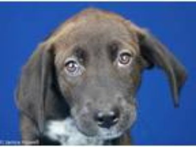 Adopt Heather - 100303L a Black Labrador Retriever / Mixed dog in Tupelo