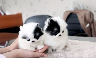 Charming and Cute Pomeranian Now Available*(317) 316-4692