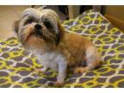 Adopt a Brown/Chocolate - with White Shih Tzu / Mixed dog in Louisville