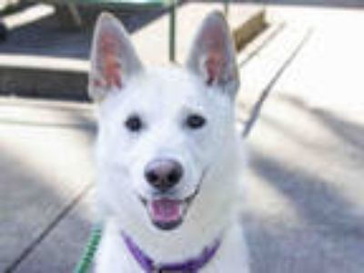 Adopt *LILLY a White - with Gray or Silver Husky / German Shepherd Dog / Mixed