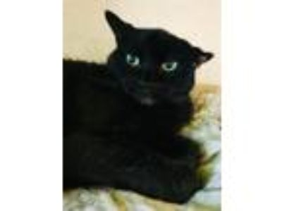 Adopt Brandy a Domestic Short Hair